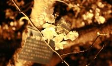 夜晚的樱花图片