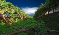 葡萄长廊图片