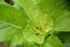 小白菜  绿叶图片