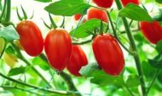 蕃茄园图片