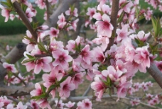 绿叶映衬下的桃花图片