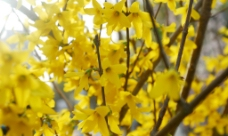 迎春花图片