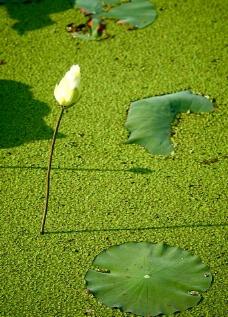 綠地浮萍图片
