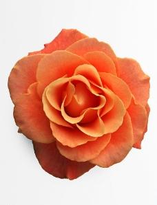 鲜花玫瑰图片
