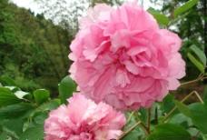 丹景山粉红牡丹图片