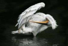 整理羽毛圖片