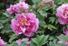 鲜艳的牡丹花图片