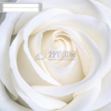 qq玫瑰图片