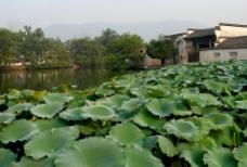 宏村—荷叶图片