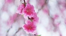 盛开的鲜花图片