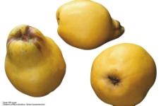 黄色梨子图片