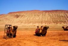 沙漠駱駝图片