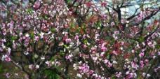 桃花林图片