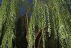 夜景柳树图片