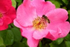 花朵和蜜蜂图片