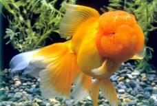 美丽金鱼图片