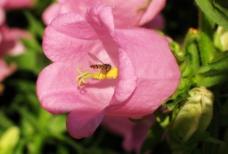 花中蜜蜂图片