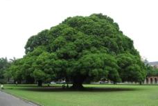 八卦茶园大树图片