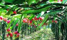 火龙果园图片