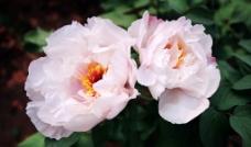 牡丹花图片
