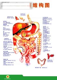 身体内脏分布图_内脏-身体器官图库-图行天下